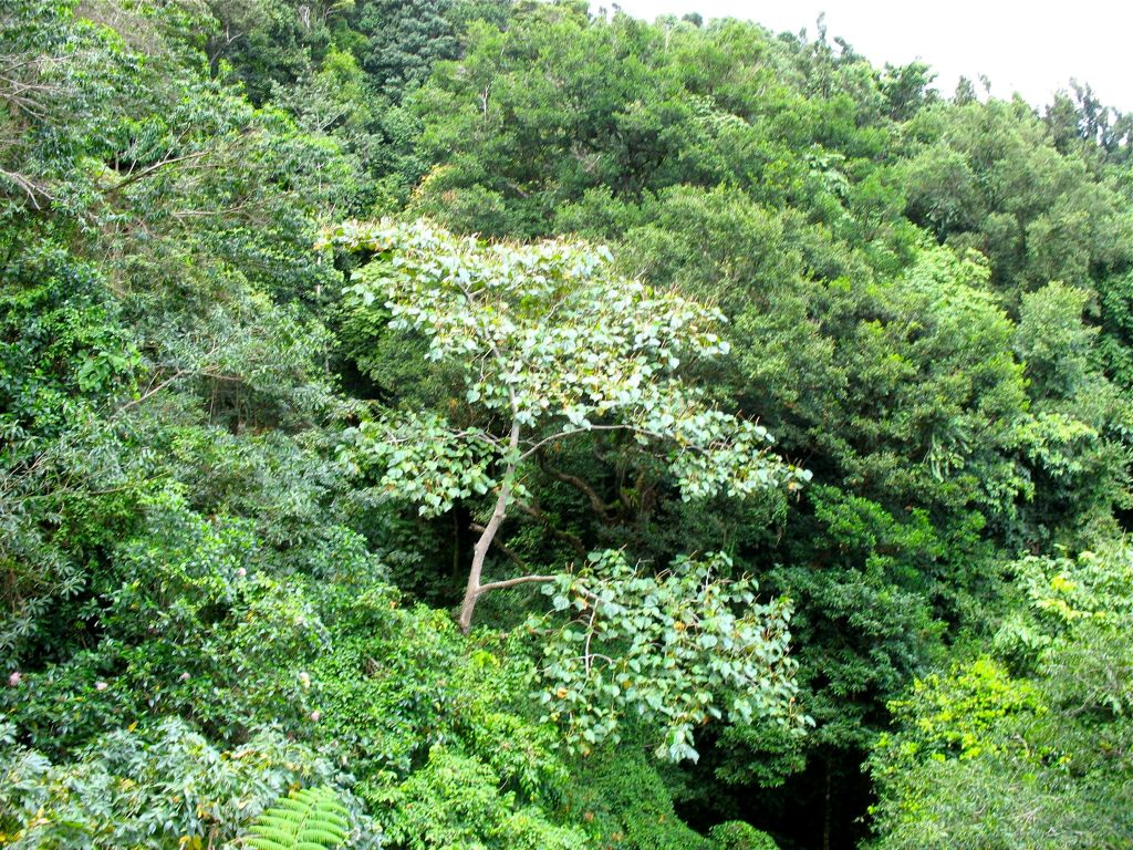 rainforest canopy in St. Lucia