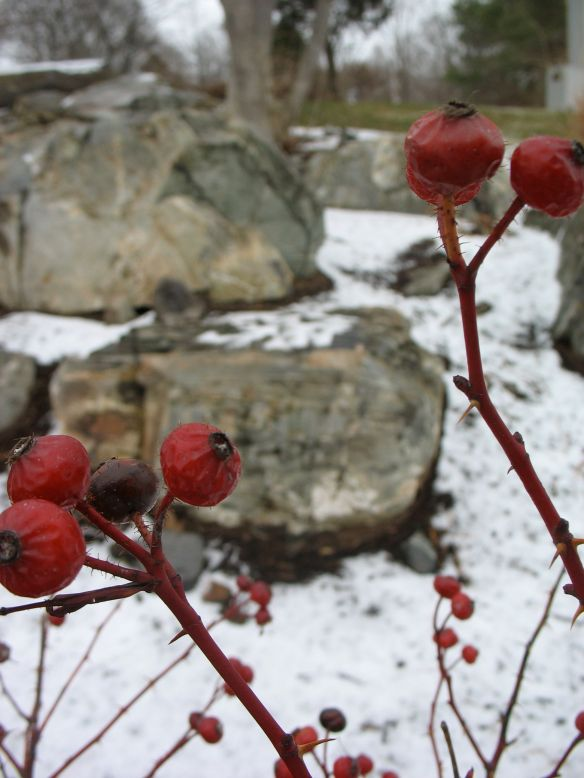 berries by the ocean in winter in York, Maine