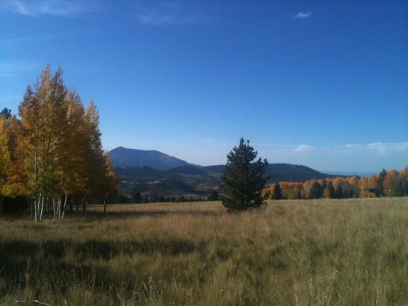 Aspens in fall in Flagstaff, Arizona