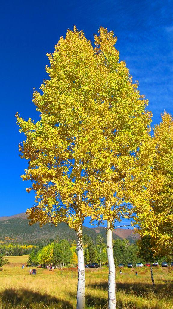 aspens in October