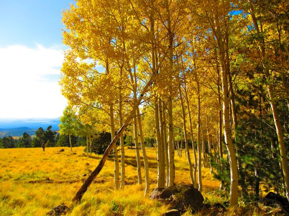 yellow aspens in October